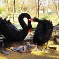 """""""Грозни патенца"""" се излюпиха в зоопарка във Варна (СНИМКИ)"""